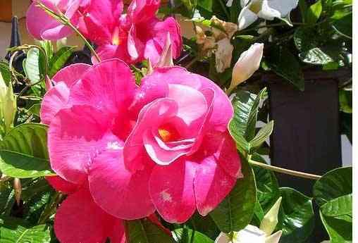 Hoa Hồng Anh có màu hồng từ nhạt đến đậm và có giống hoa màu đỏ, màu trắng với phần trung tâm màu vàng rất đẹp. Ảnh minh họa