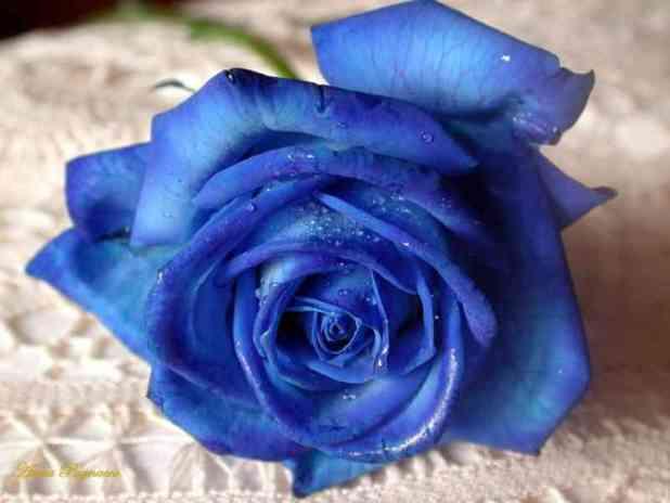 Hoa hồng trắng sau khi được nhuộm thành hoa hồng xanh