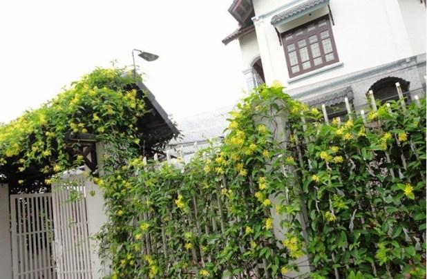Cây Mai hoàng yến ưa sáng, càng nhiều nắng cây càng sai hoa và rực rỡ hơn. Ảnh minh họa
