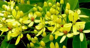 Từng nụ hoa Mai hoàng yến nở tung rực rỡ thu hút mọi ánh nhìn. Ảnh minh họa