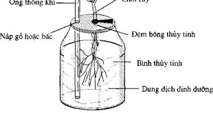 Trồng cây trong nước bằng bình thủy tinh