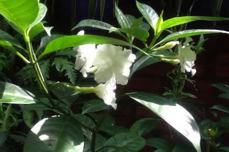 Mộc trà ra hoa màu trắng tuyệt đẹp