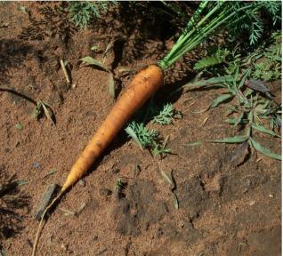 Trồng cà rốt là một hoa màu khác cho vùng Katherine.