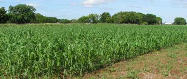 Các cây phân xanh, như cây lúa miến này, là một phần quan trọng của một hệ thống trồng rau trong vùng Cực Bắc (Top End) lảnh thổ Bắc Úc