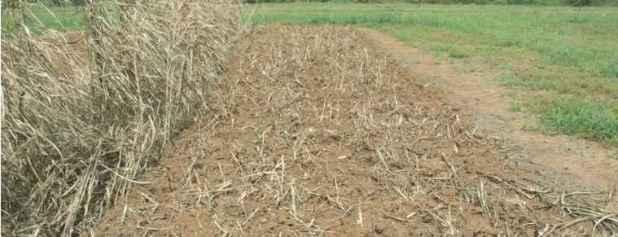 Trộn lẫn vào đất đúng lúc là rất quan trọng cho việc trồng cây phân xanh.