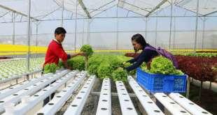 Anh Đức hướng dẫn cho du khách cách thu hoạch rau thủy canh trong trang trại của mình.