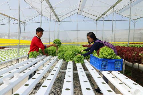Thạc sĩ mỗi tháng thu trăm triệu từ vườn rau thủy canh