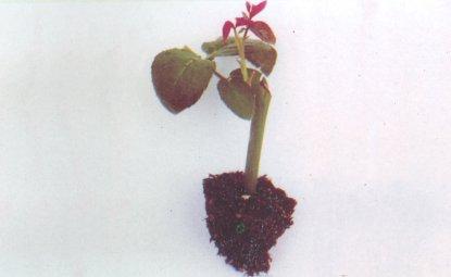 Hồng giâm cành 25 ngày tuổi đủ tiêu chuẩn trồng ra ruộng sản xuất