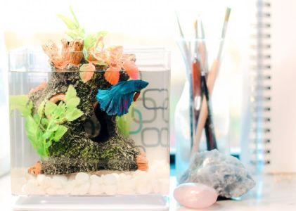 Jenis Ikan Cupang Nemo yang Paling Banyak Dicari