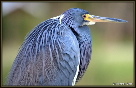 This fellow was so tolerant of my intrusion but was not a all like a diva. That would be the Blue Heron of course.