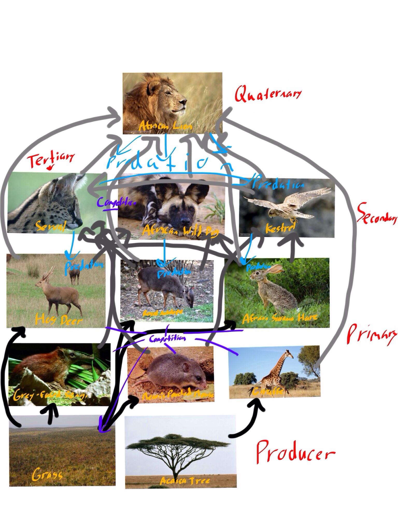 Food Web Food Pyramid