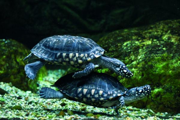 Żółwie wodno-lądowe – biologia