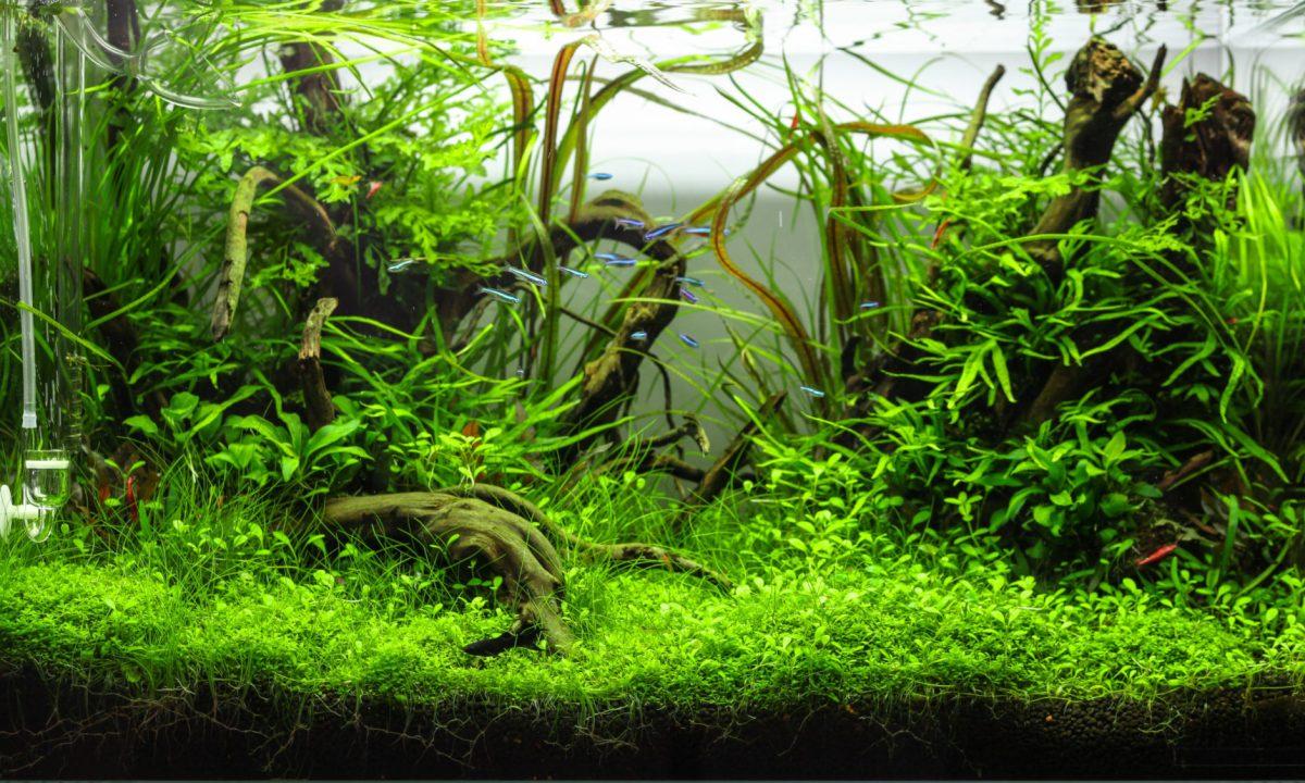 akwarium z roślinami