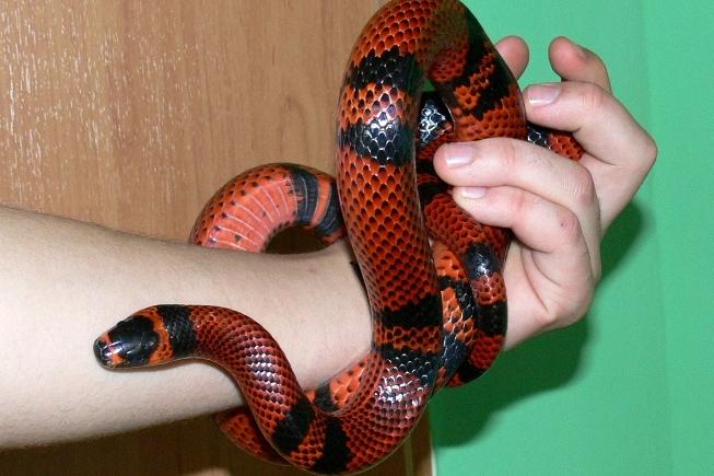 Węże właściwe, takie jak ten łagodny Lampropeltis triangulum są odpowiednim gatunkiem dla początkujących terrarystów.