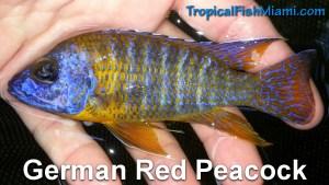 German Red Peacock