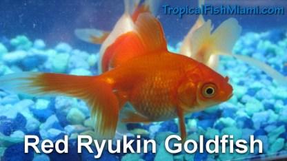 Red Ryukin
