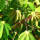 Magenta petiole. Magenta stipule. Brownish stem. Wide leaf.
