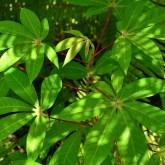 Magenta petiole. Magenta stipule. Green stem. Wide leaf.
