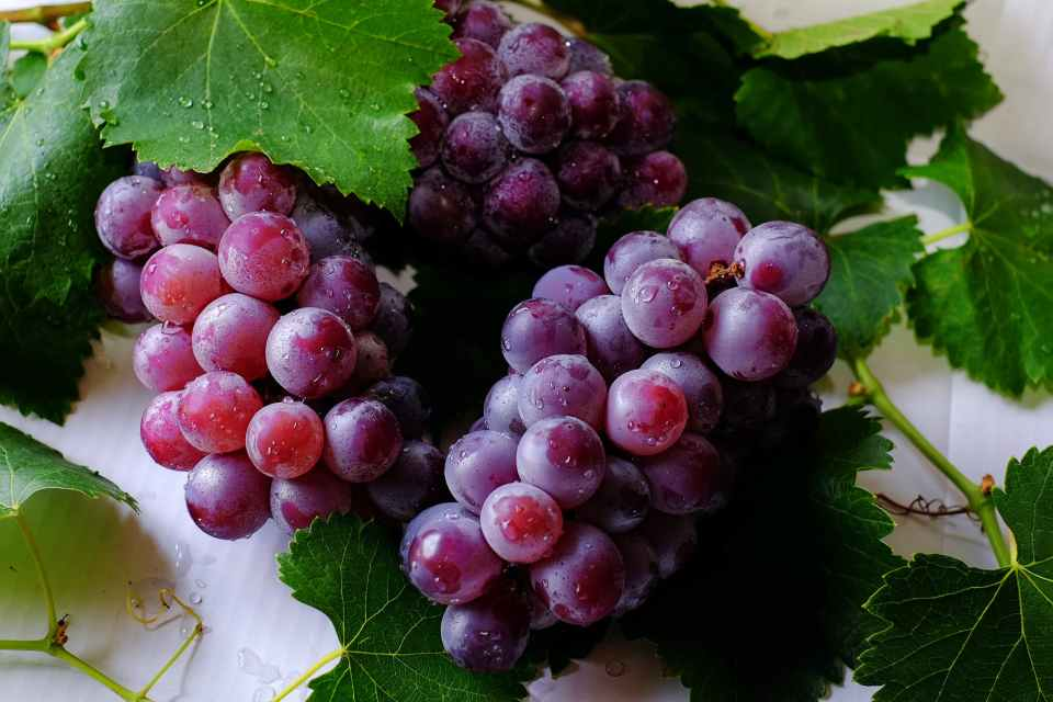 BUNCHES OF PURPLE GRAPES, FRESH AND ABOUT TO BURST, WITH VINE LEAVES AND MOISTURE ON THE GRAPE GLOBES