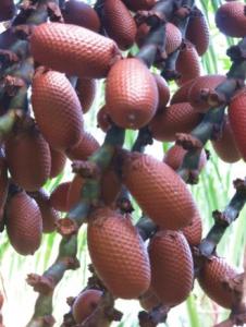 Mauritia fruit