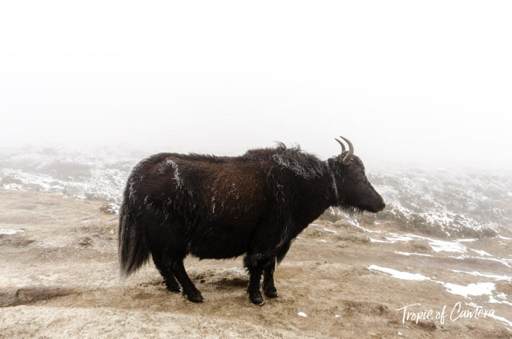 A yak standing on the path in the snow in the Himalayas, Nepal