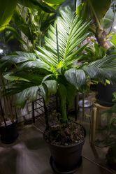 Areca catechu dwarf indoors
