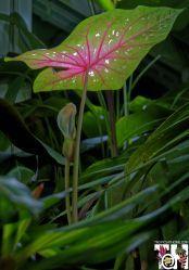Caladium bicolor flowering