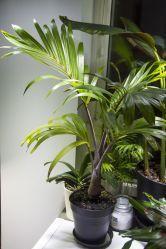 Bottle palm (Hyophorbe lagenicaulis) indoors