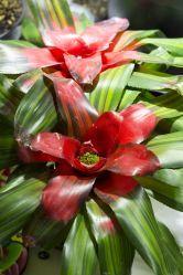 Neoregelia tricolor