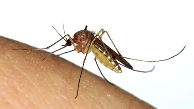 malaria-mosquito-UK