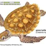 Lesson Plan: The Impact of Climate Change on Sex Determination in Sea Turtles