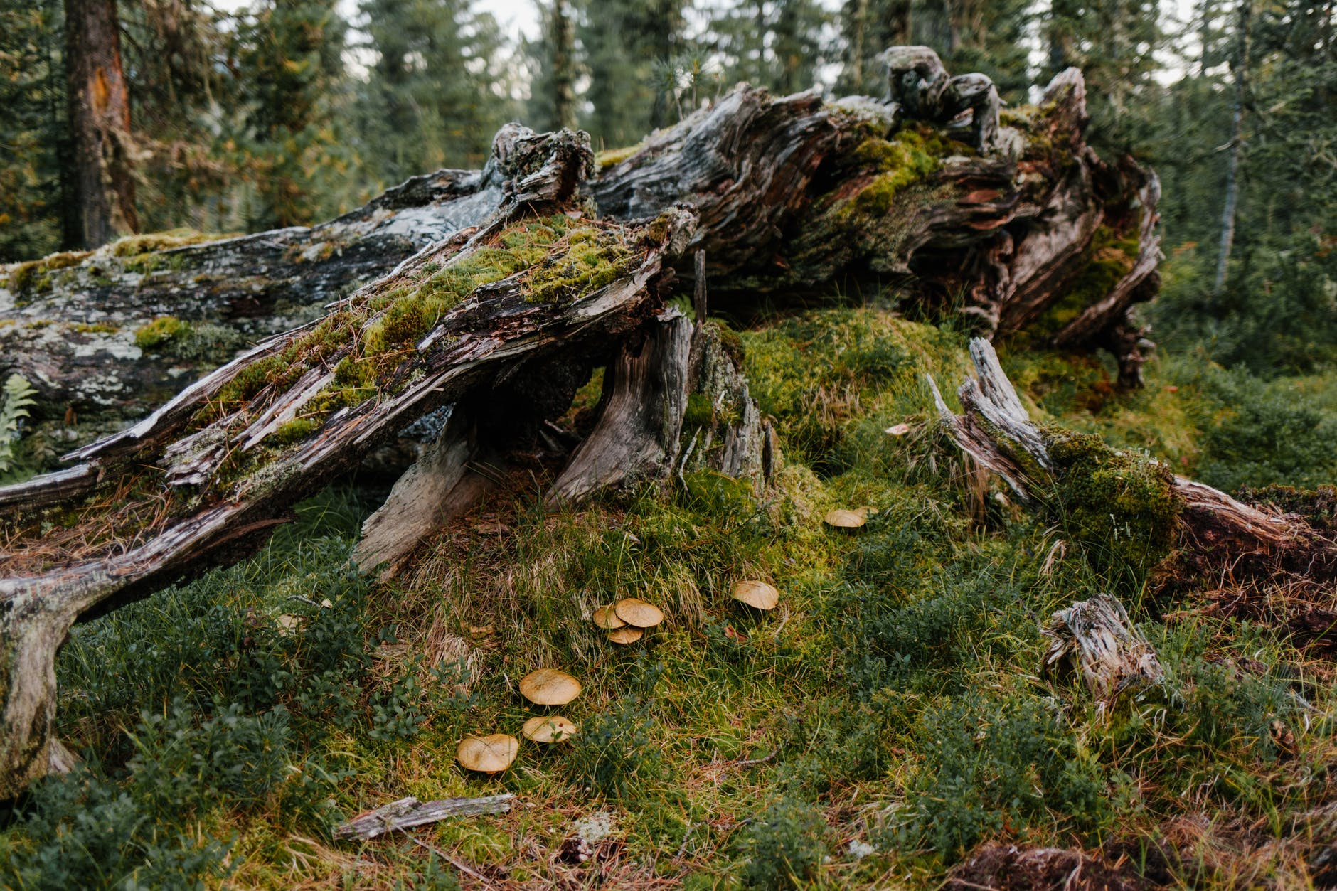 old tree covered with green moss near fresh grass with mushrooms