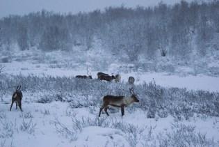 Na północy czekają dzikie renifery...