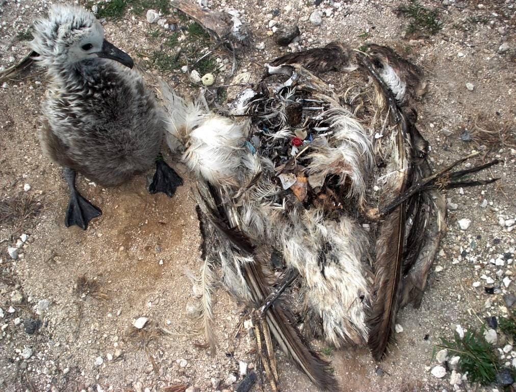 Ghost Island Fowl
