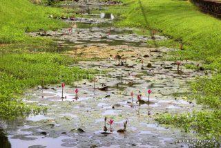 NENÚFARES EN UN CANAL JUNTO A LAS SEÑORA VENDIENDO FRUTA JUNTO A LAS RUINAS DEL WAT MAHATHAT EN EL PARQUE HISTÓRICO DE SUKHOTHAI