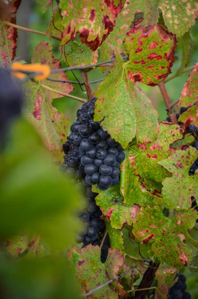 raisin vin bourgogne