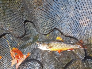 Wild brook trout Swift River