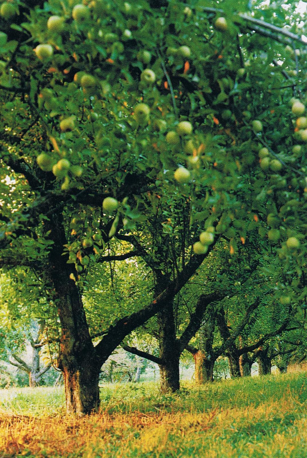 HG Apple trees