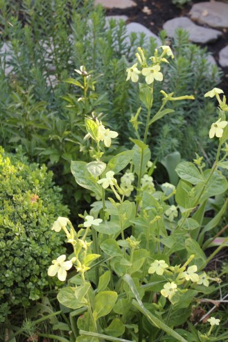 Lime green nicotiana
