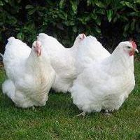White Orpington Hens
