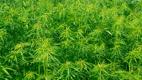 Ask Our Experts: American Hemp Textiles