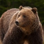 Jasper_wildlife_Grizzly_Bear-20090516-33