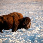 buffalo_winter_bison_-20090120-27