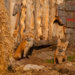 fox_wildlife_kits-20110530-7