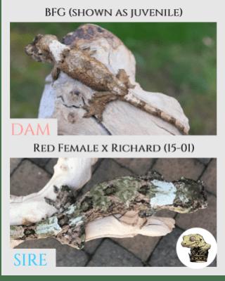 (2) BFG & [Red Female x Richard (15-01)] Parent Pics