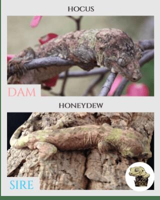 (2) Hocus & Honeydew Parent Pics