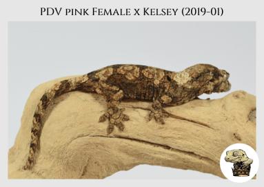 (4) PDV Pink Female x Kelsey (2019-01)