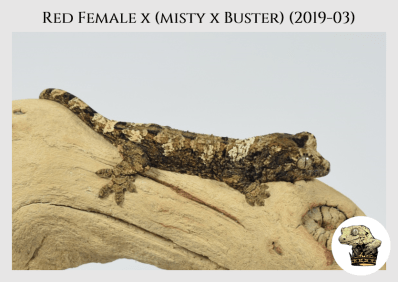 (4.5) Red Female x [Misty x Buster] (2019-03)