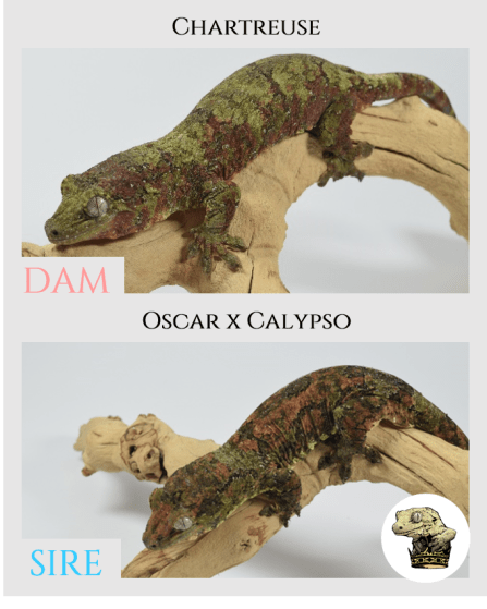 (2) ) Chartreuse & [Oscar x Calypso (14-02)] Parent Pics