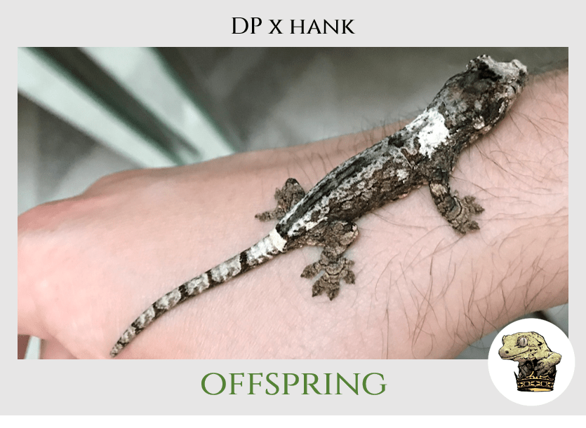(6) DP x Hank Offspring